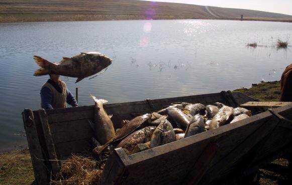 PESTI MORTI COMUNA ULMU. 30 de tone de bibani, carasi, somni si alte specii de pesti de 30-40 de kilograme au murit în lacul Zimbru din comuna Ulmu, judetul Calarasi./DRAGOS ROBATZCHI/JURNALUL NATIONAL.