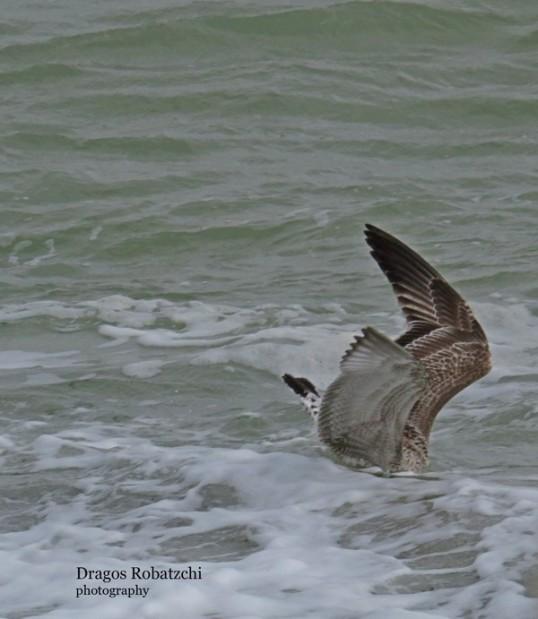 seagull-03